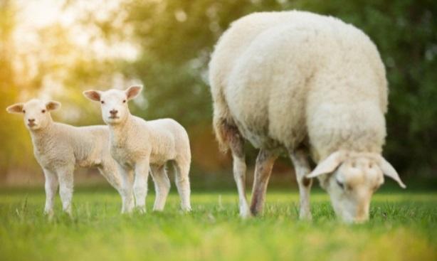 Moutons cdt sdp mop